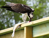 Birdwatching Wilmington NC