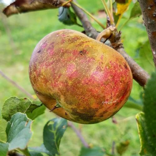 Cox's Orange Pippin heirloom apple