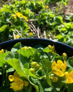 Bulk bucket of marsh marigold