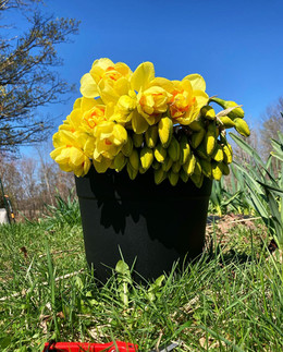 Bulk bucket of premium narcissus 'Tahiti'