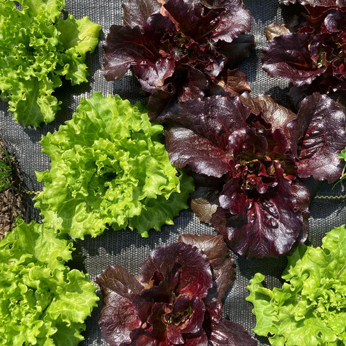 summer crisp lettuce mix