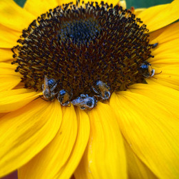 bees sleeping on a sunflower