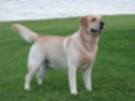 """Hogan"" Chambray Labradors top producing dog of all times"