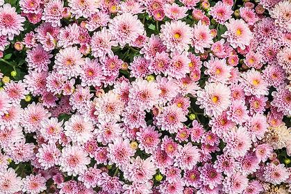 fond-fleurs-chrysantheme_293060-810.jpg