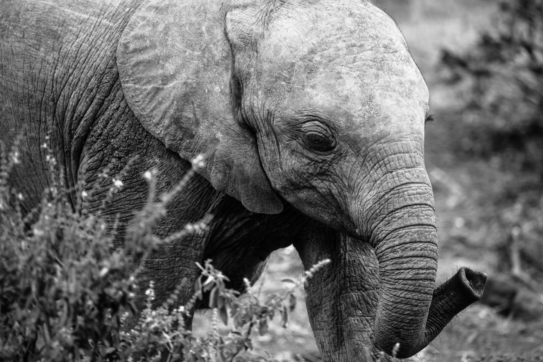 Baby Orphan Elephant