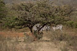 zebra at camp