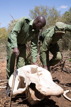 a poached male elephant