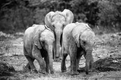 Baby Orphan Elephants