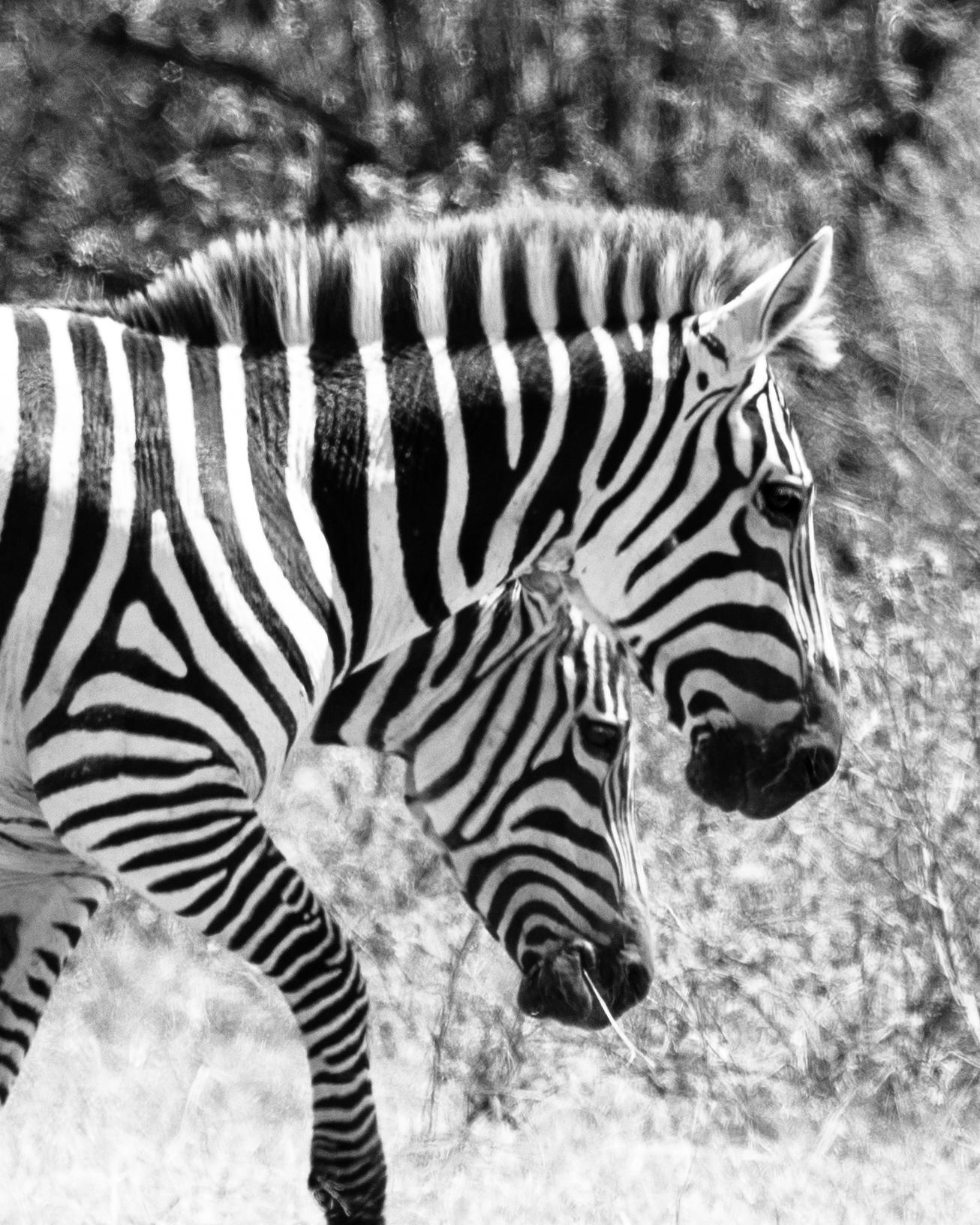 Zebra in our camp