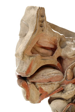 A photo of an anatomical model of the head showing the inside cavities of the mouth and nose.
