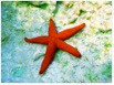 The Smiling Red Sea Star