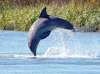 Dolphin Cresting