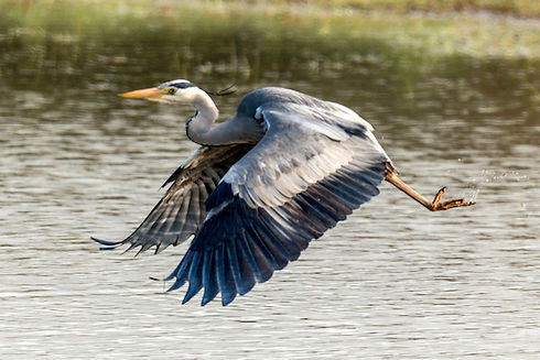 wildlife-heron.jpg