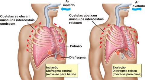 Como funciona o músculo diafragma?