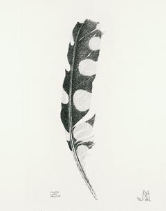 Penna di picchio rosso maggiore, 1996.jp