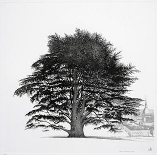 Cedro sulla collina di Torino, 2011.jpg