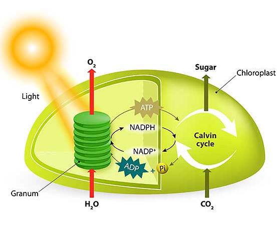 Photosynthesis---555x463.jpg