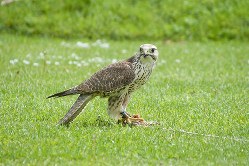 Half Day Falconry Experience - Child