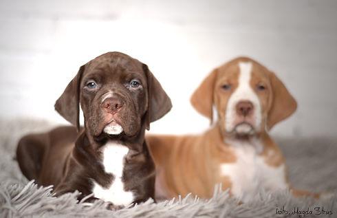 pointer puppies solid.jpg