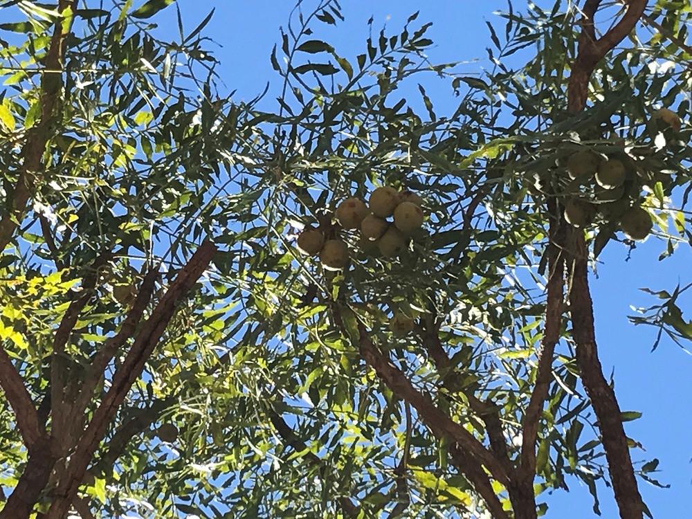 Emu apples