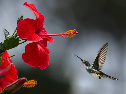 Hibiscus - More than just a pretty flower!