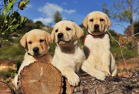 More Lab Puppies