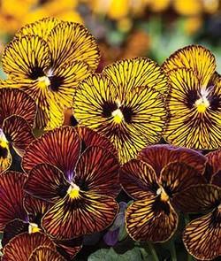 Tiger Eye Mixed Violas
