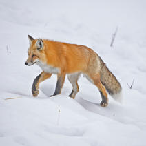Yellowstone winters Cindy Feb 2020