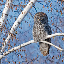 The Great Grey Owls from Manitoba