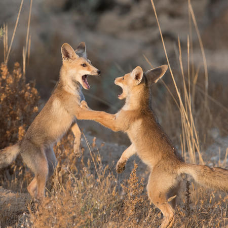 Foxes in Israel