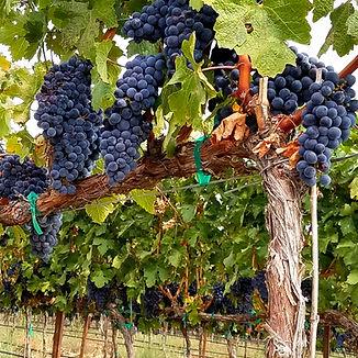 Blue on the Vine.jpg