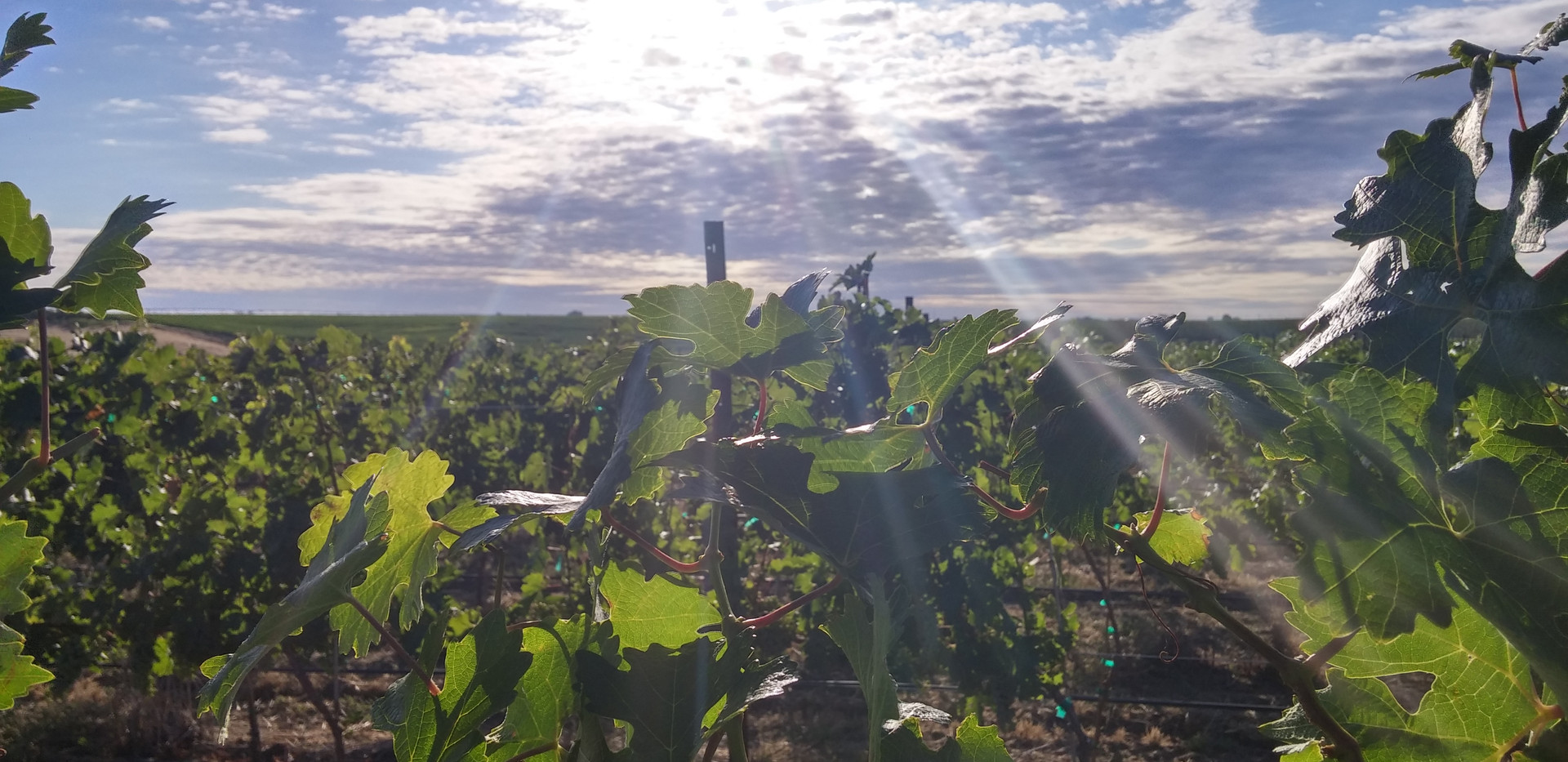 Sunlight in the Vineyard.jpg