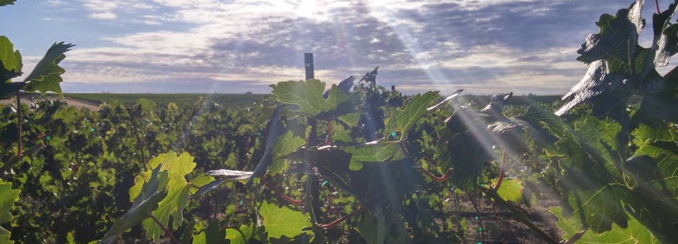 Sunlight in the Vineyard.jpg