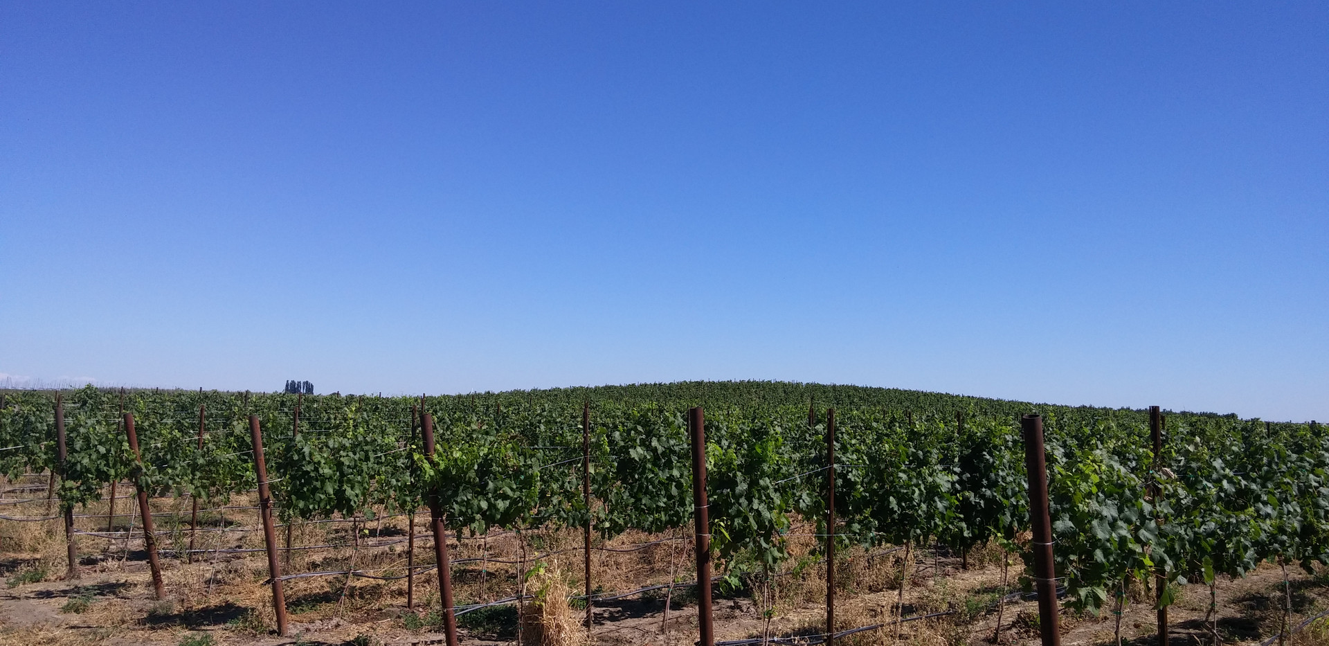 Vineyard in Summer.jpg