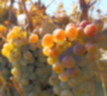 Orange Muscat on the Vine.jpg