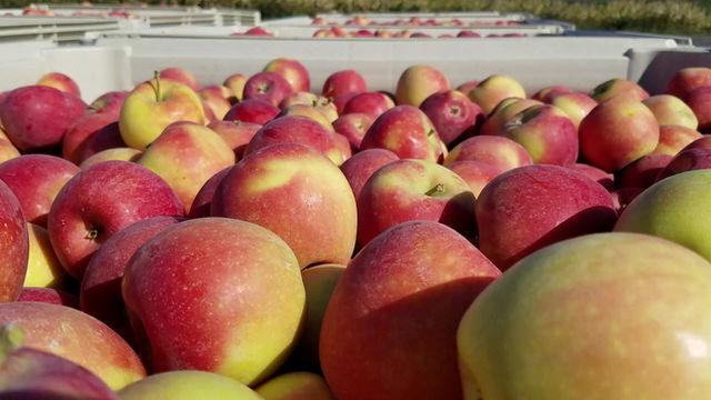 Apple Harvest 2019
