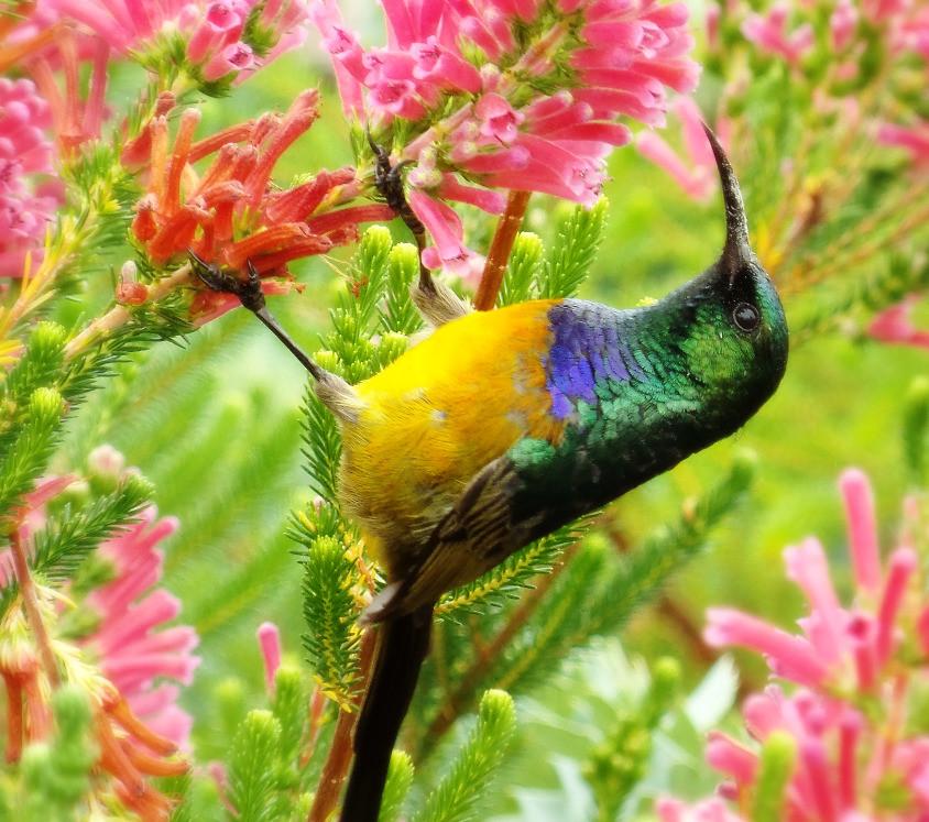 A sunbird in Kirstenbosch, Cape Town