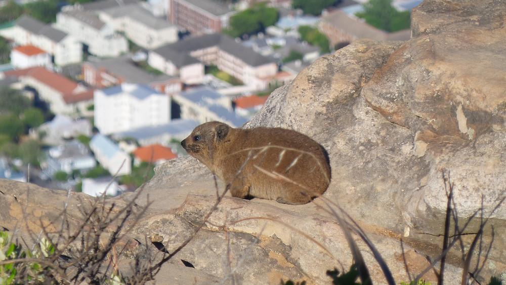 A rock hyrax or dassie on Lion's Head