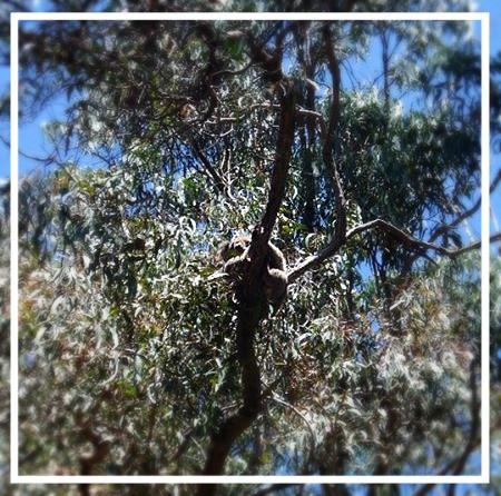 Koala in a gum tree on the Great Ocean Road