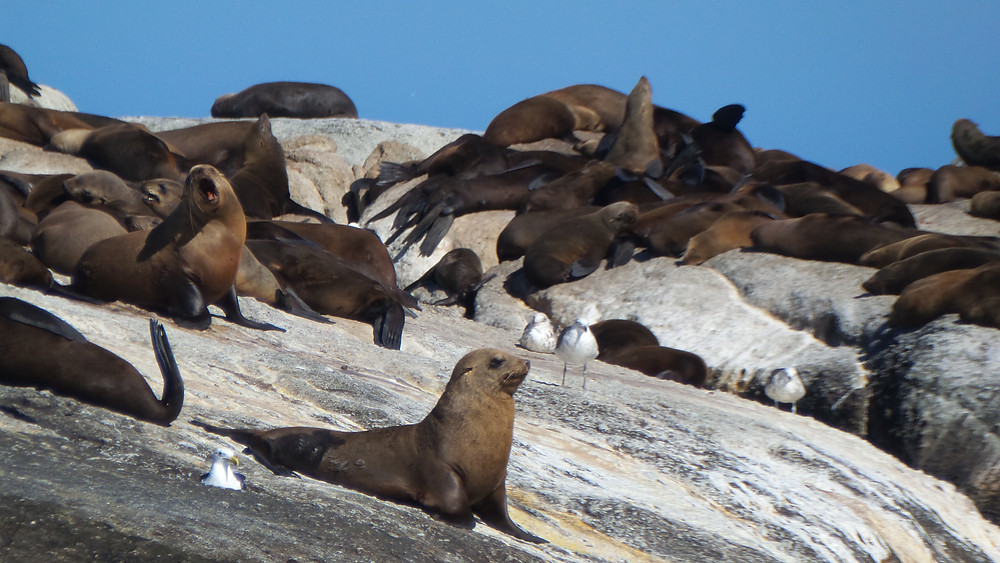 Fur seals in Hout Bay, South Africa