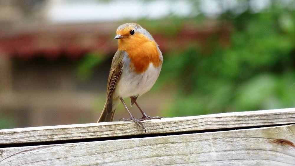Robin, bird, close up, on fence.