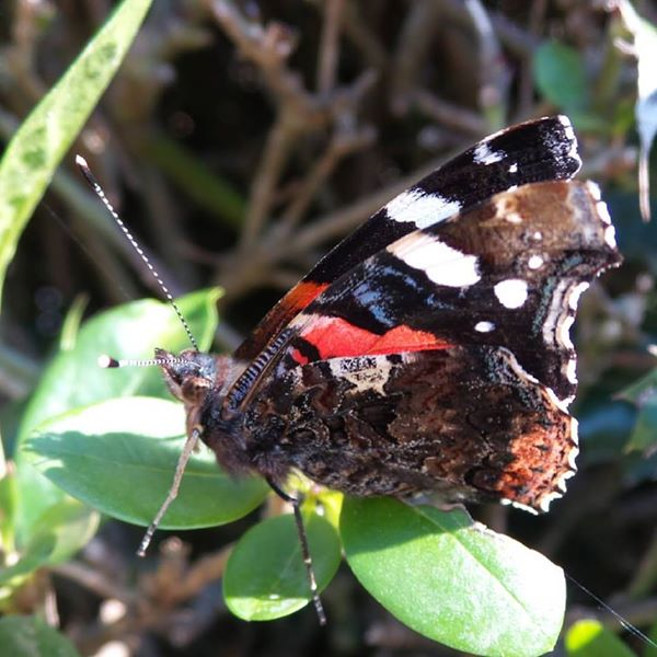 Red admiral butterfly close up