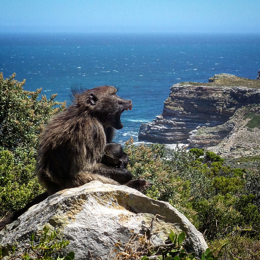 A mother baboon and baby at Cape Point