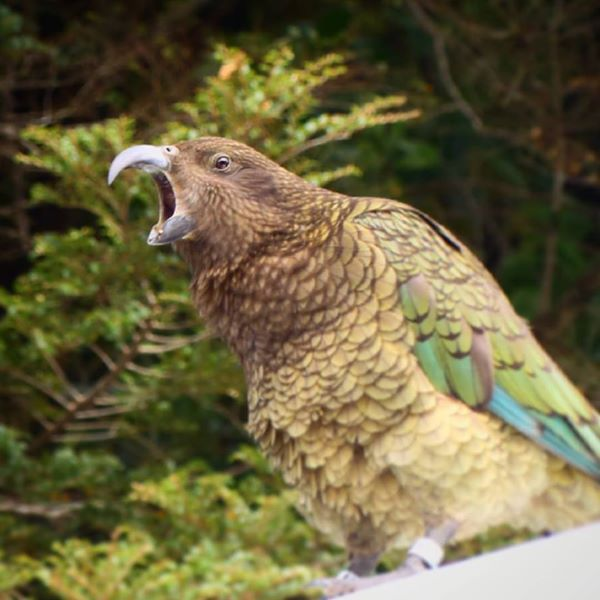 Kea alpine parrot New Zealand