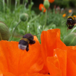Bumblebees and poppy