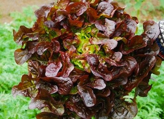 Red Oak Salanova Lettuce