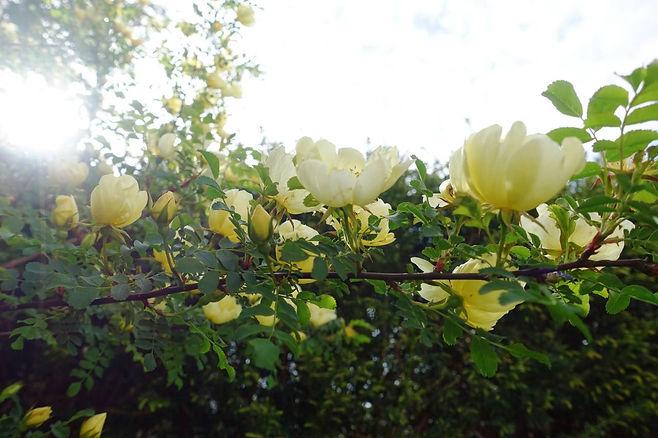 goldrose.jpg