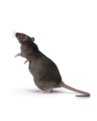 Grey Rat.I06.2k.png