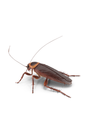 American Cockroach.G06.2k.png