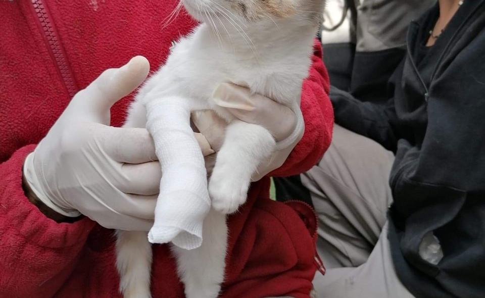 PSCF 2 bandage pour le chat